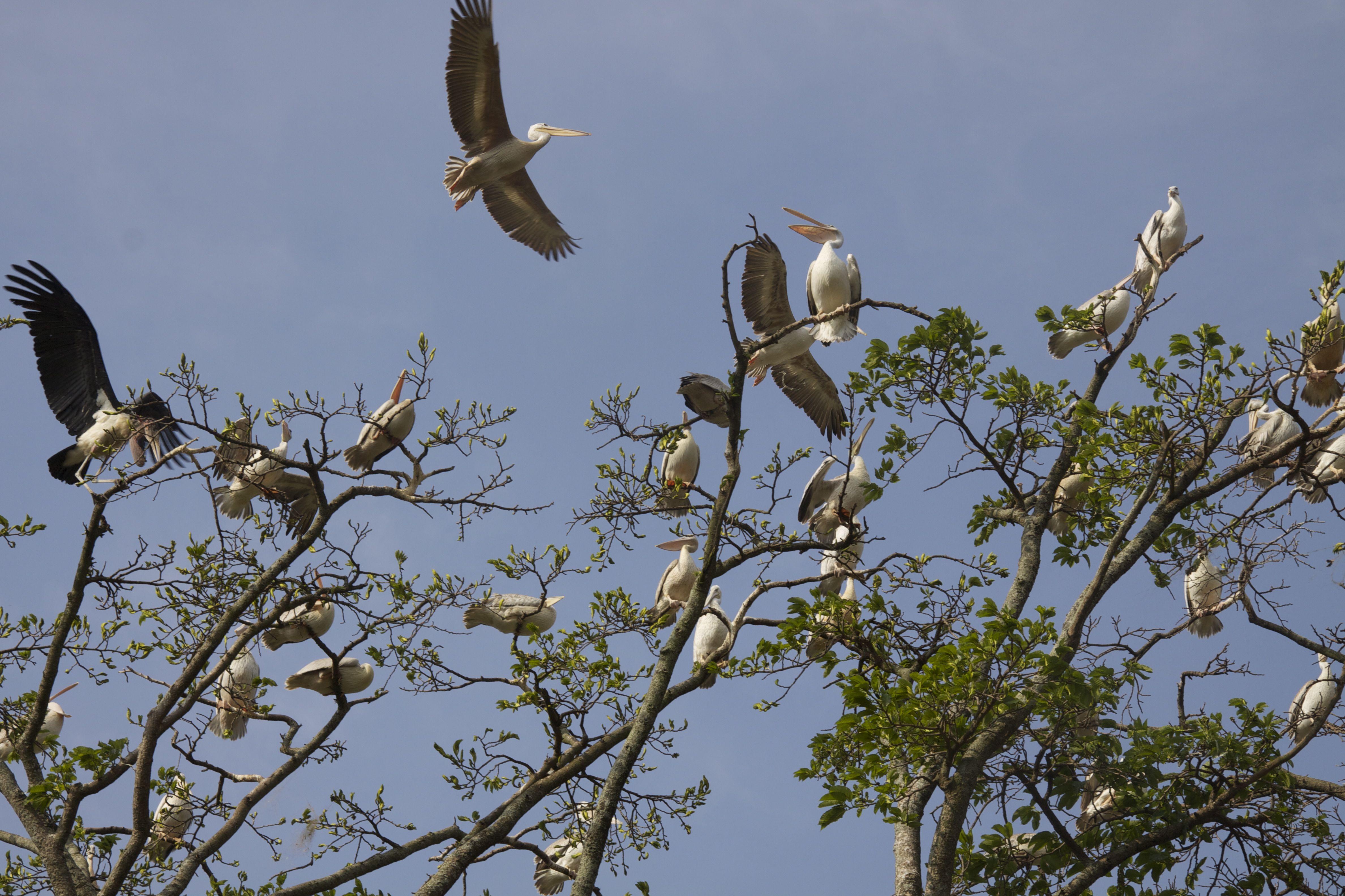 uganda cranes.jpg