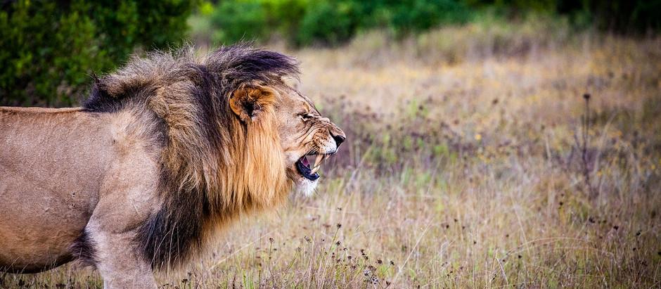Tag 13-15: Timbavati Reservat, Doug Herfernan oder: Wo sind die Löwen?