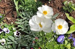 Ranunculus - so very pretty #gardens