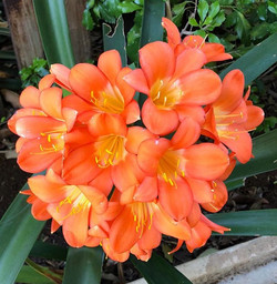 Spring is here - the Clivia are really s