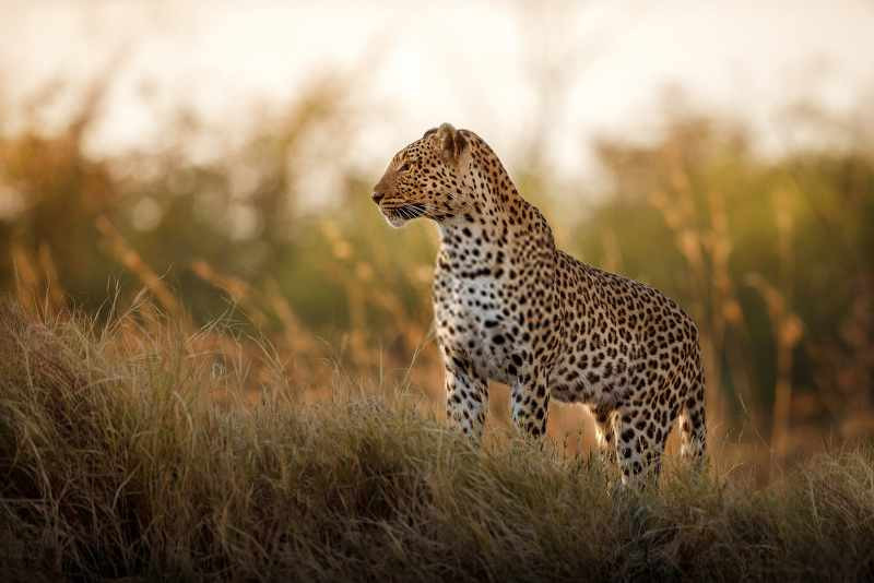 amazing leopard in south african national park_800x534