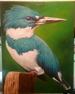 Belted Kingfisher 01