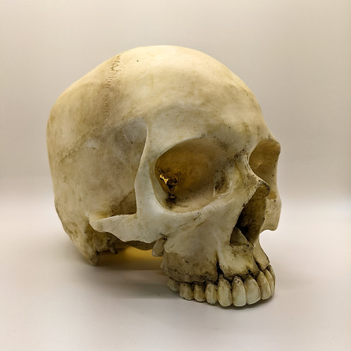 Decorative CATACOMB Skull - no jaw