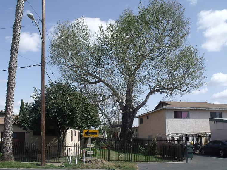 Eagle Tree.JPG