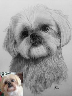 Portrait lhassa crayon noir