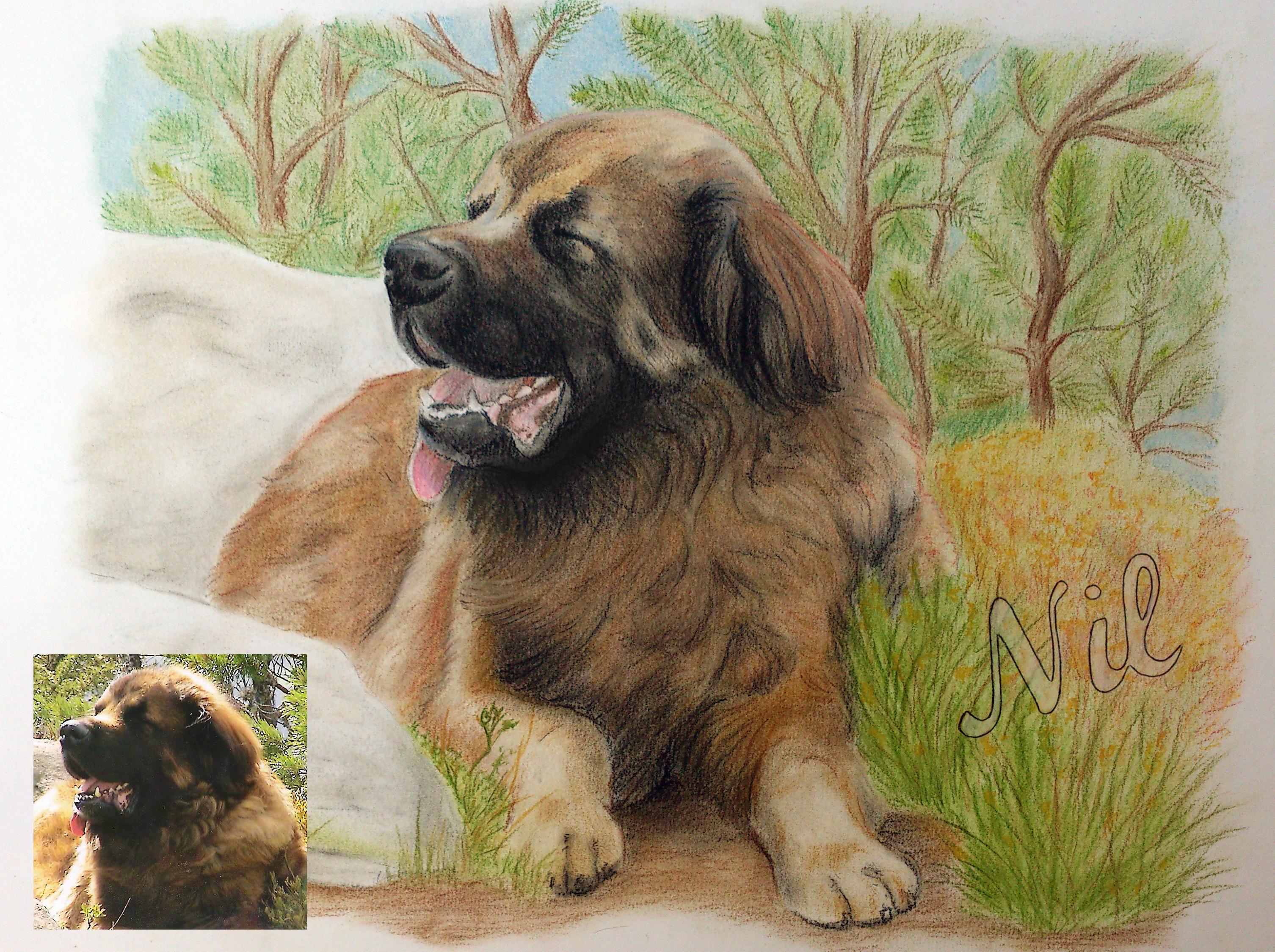 Portrait leonberg pastels
