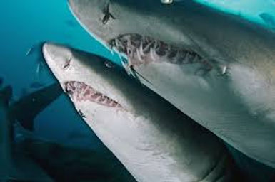 Third of shark and ray species face extinction, warns study
