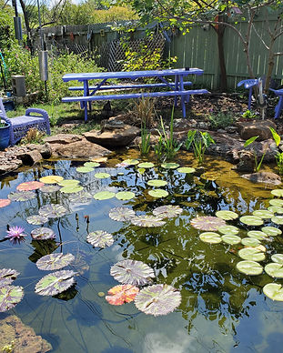 Fish pond, ecosystem pond, ecosystem, koi pond, goldfish pond, pond installation, koi pond design, water lilies, water lily, aquatic plants, water plants, wellness through water, austin texas, focal point features, wellness through water, pond construction, pond design, water feature installation, water feature services