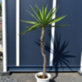 Yucca elephantipes2.jpg