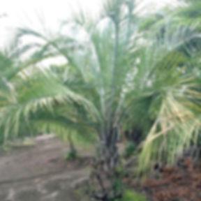 kokosuyashi.jpg
