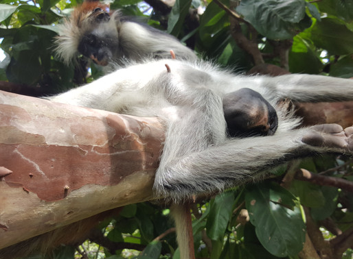 Jozani Forest: Home to the Red Colobus Monkey
