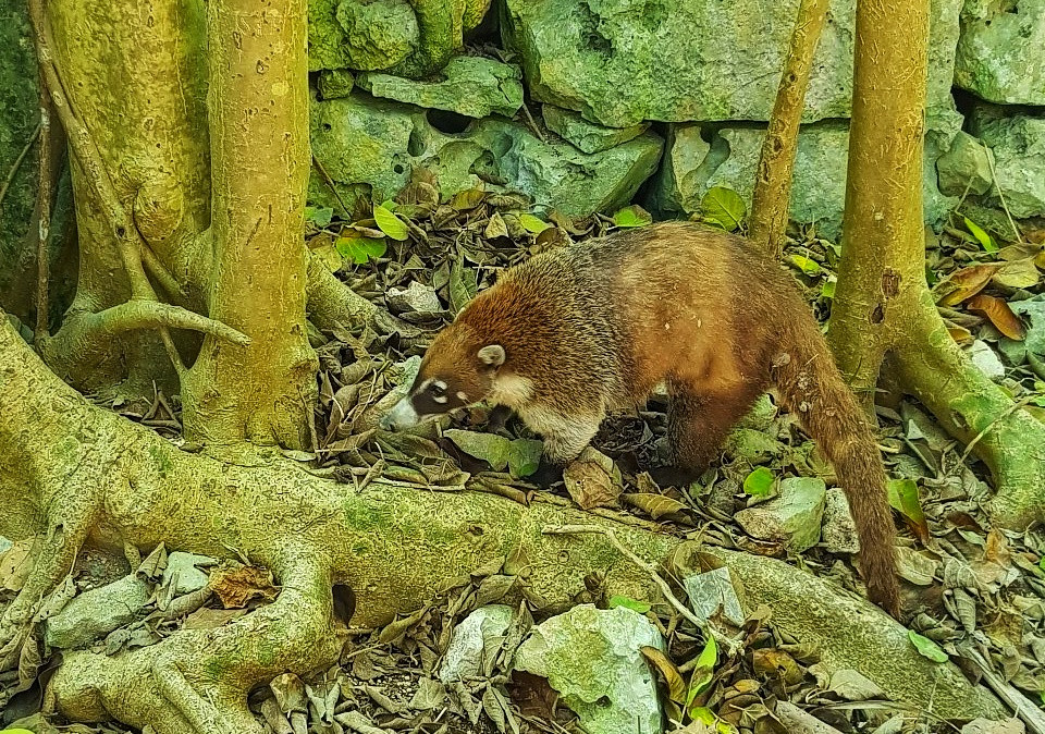Coati animal in Tullum