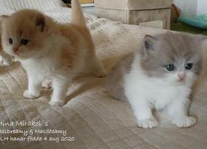 Kattungar, väntade kullar & uppfödare