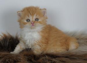 Kattunge, långhår