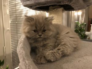 Långhårig kattunge till salu (hona)
