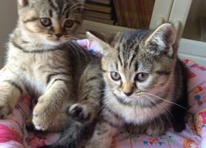 Kattungar och Titelbritter