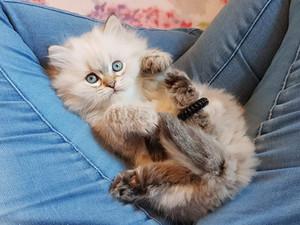 Kattunge, Brittiskt långhår