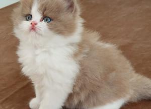 Kattunge (långhår) <3
