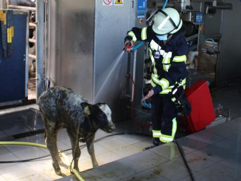 Feuerwehr rettet Kalb aus Güllekeller