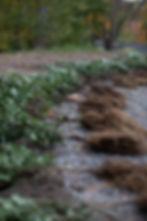 Plantera Liguster-2.jpg
