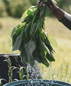 Wet%20Callaloo%20Bunch_edited