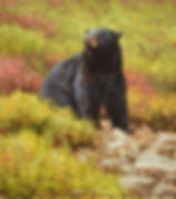 Original Black Bear Painting