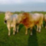 2003 runderen (453 x 453 px).jpg
