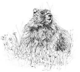Marmotte ︱DISPONIBLE