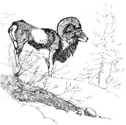 Mouflon ︱DISPONIBLE