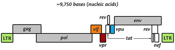 Figure 3. HIV Genome.jpg