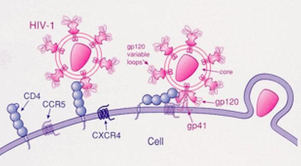 Figure 2. CCR5 and HIV Attachment.jpg