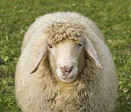 sheep appenninica.jpg