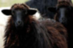 black-sheep arbus sardinia.jpg