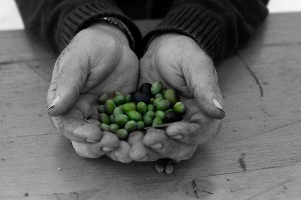 colli-etruschi- olive hands.jpg