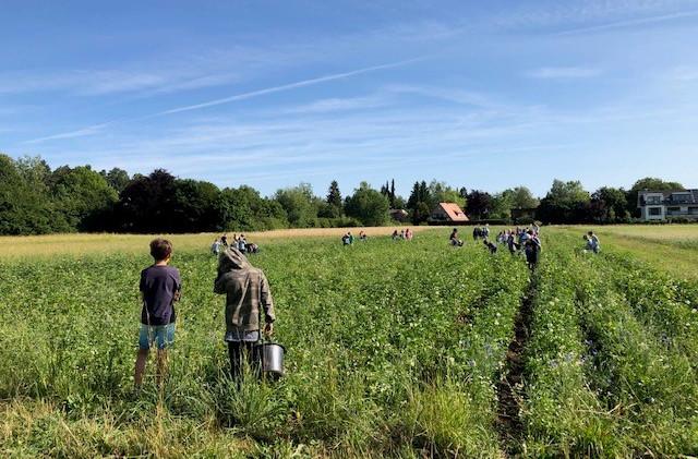 Kartoffelprojekt am Seidlhof: Die Kinder sammeln Kartoffelkäfer ein