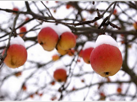 Как подготовить яблони к зиме - 5 подсказок садовнику