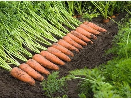 5 секретов моркови от посадки до сбора урожая