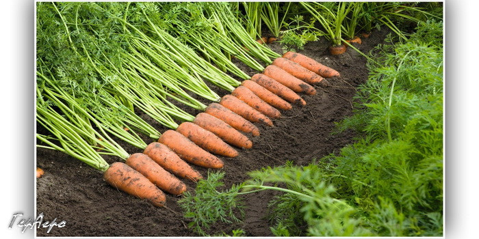 морковка на грядке