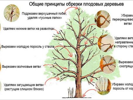 Полезные советы по обрезке плодовых деревьев