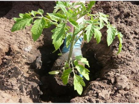 Выращиваем помидоры в открытом грунте