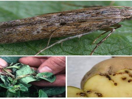 Картофельная моль – меры борьбы на огороде, в погребе при хранении