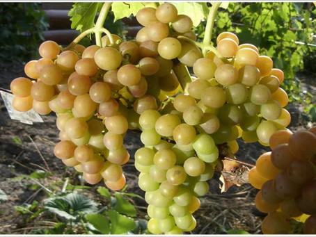 Блестящий - столовый сорт винограда очень раннего срока созревания