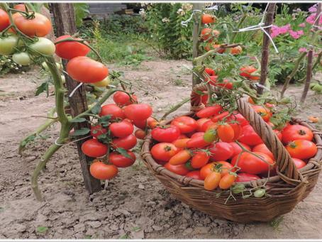 Как выращивать томаты без проблем – реальный опыт и советы от счастливого огородника!