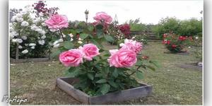 розы в клумбе
