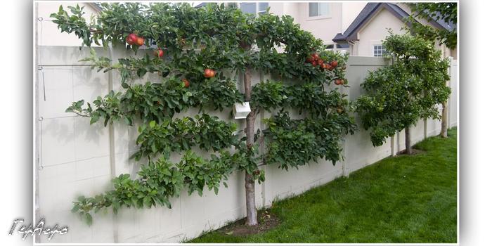 яблоня с сформированной кроной