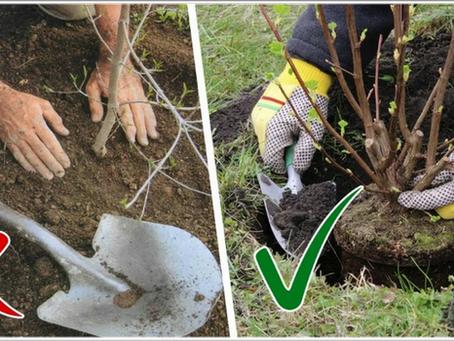 Как посадить яблоню, грушу: пошаговая видеоинструкция