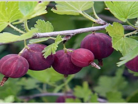 Как вырастить сладкий крыжовник – советы начинающим садоводам