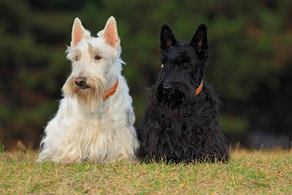 New DNA Banking Service Available for Scottie Owners
