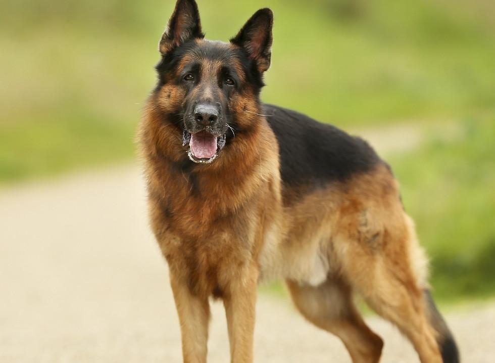german-shepherd-dog-2891659_1280.jpg