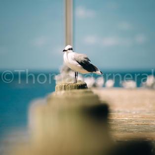 Gulf State Park Pier With Bird #2